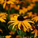 Golden Hour Black Eyed Susans by jodi payne