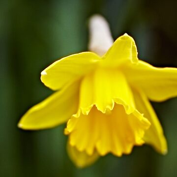 The first bulb of Spring by RichardKeech
