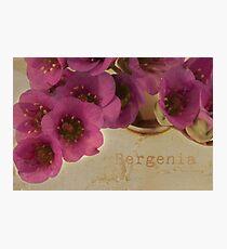 Bergenia Macro Photographic Print