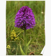 Pyramidal Orchid, Inishmore Poster