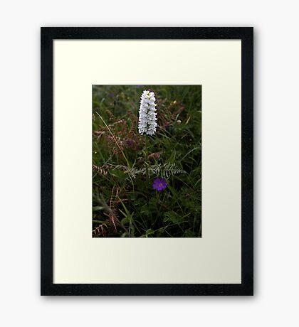 Irish White Orchid, Inishmore Framed Print