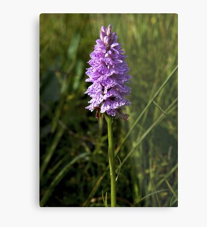 Spotted Orchid, Kilclooney, Donegal Metal Print