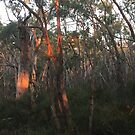 Stringybark sunset by Phil
