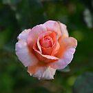 Big rose by James  Kerr