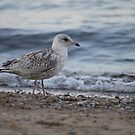 Mew Gull by mercale