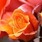 A Rose Amongst the Thorns by Richard Keech