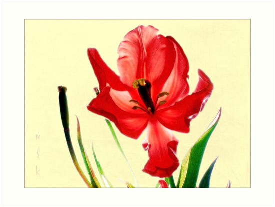 December's Red Tulip by LouiseK