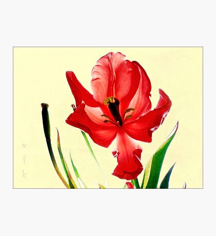 December's Red Tulip Photographic Print