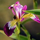 Pond Iris by karina5