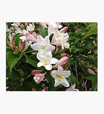Wiegela Blossoms Photographic Print