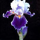 Bearded Iris by wolftinz