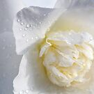 White Camellia by Belinda Osgood