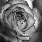 Rose by Richard Keech