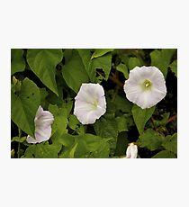 Sea Bindweed, Muckross Head, Donegal Photographic Print