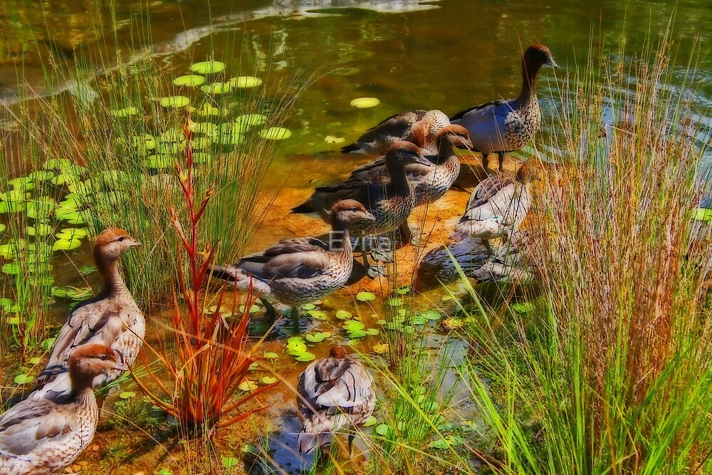 Ducks At The Pond by Evita