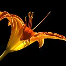 Daylily - Up Close by cclaude