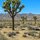 Joshua Tree National Park by David Chesluk