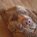 Sleepy Sussex Spaniel by SMiddlebrook