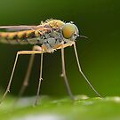 Snipe fly close up by relayer51