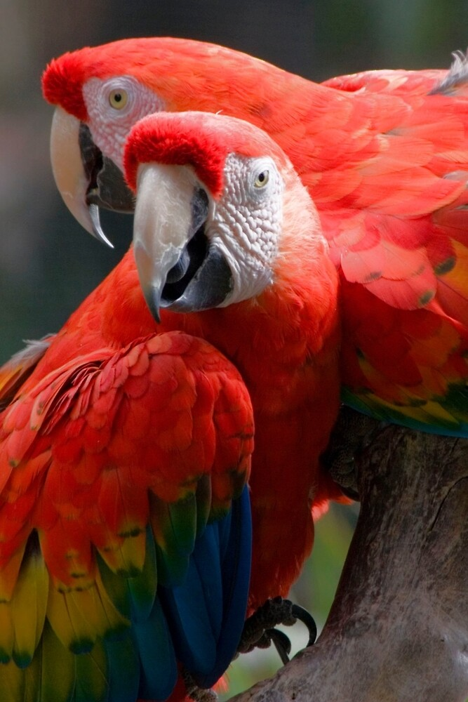 red parrots by David Chesluk