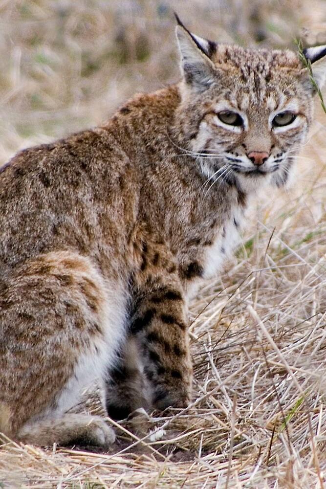 bobcat by David Chesluk
