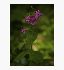 Pink Campion in Prehen Woods, Derry Photographic Print