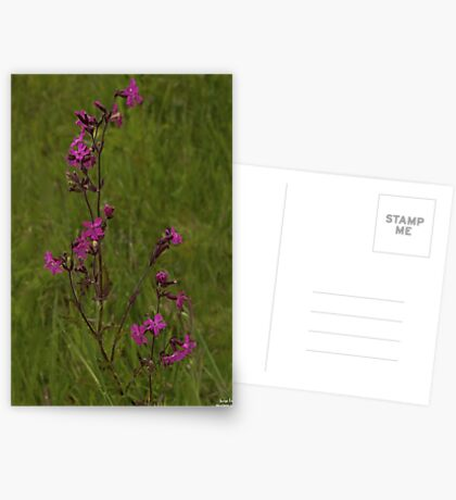 Red Campion in Burntollet Woods Greeting Card