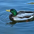 mallard duck- male by David Chesluk