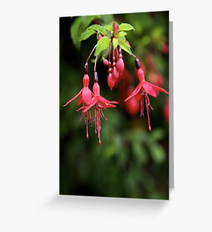 Fuchsia Hedge at Loch Na Fooey 3 Greeting Card