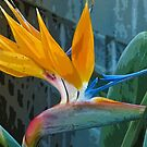 bird of paradise plant and flower by David Chesluk