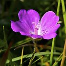 Cranesbill, Dun Eochla, Inishmore, Aran Islands by George Row