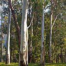 Australian Bush #1, Bright, Victoria. by johnrf