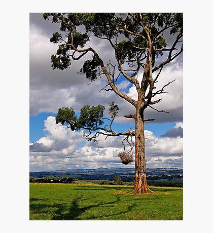 Gippsland giant, Eucalyptus,  Drouin, Victoria. Photographic Print