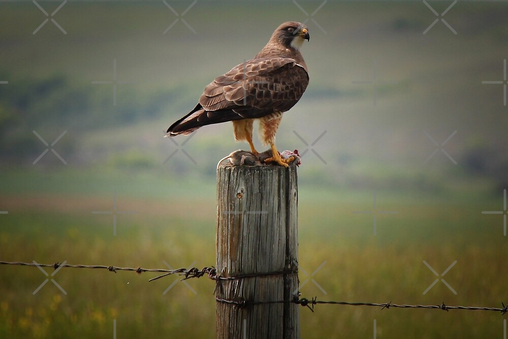 Swainson's Hawk by Vickie Emms