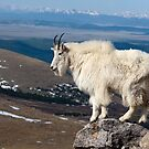 Goat on Mount Evans by Eivor Kuchta