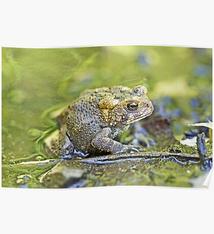 Eastern American toad - Anaxyrus americanus Poster