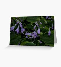 Hosta Plant with Beautiful Purple Flowers Greeting Card