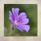 Geranium maculatum by John Edwards