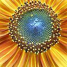 Sunflower Center by Kevin J Cooper