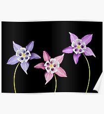 Aquilegia Flower Poster