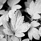 Black and White Leaves by Christina Rollo