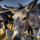 Donkey by GD-Images