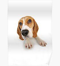 Beagle dog lying down Poster