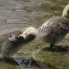 Ducklings in York by Sarah Horsman