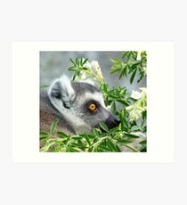 Ring-tailed Lemur Watching His Group Art Print