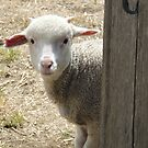Curious Lamb at Ross by Wendy Dyer