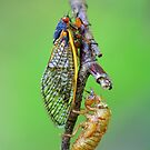 Periodical (17 Year) Cicada by Ashlee White