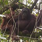 Orangutan Family - Borneo by Steve Bulford