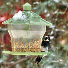 Acorn Woodpecker In Winter by K D Graves Photography