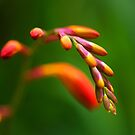 Budding firey blooms by Katieshires